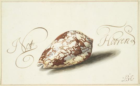 A brown ink drawing of a feathered cone shell.